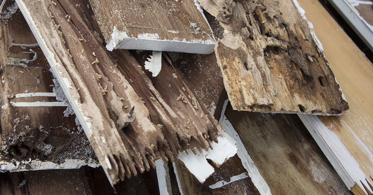Termite damage and dry rot from El Nino flood waters