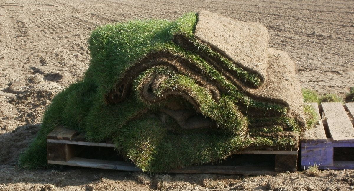 drought tolerant turfgrass