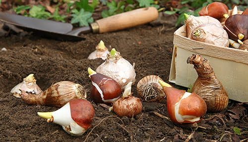 Plant bulbs in the fall for spring color