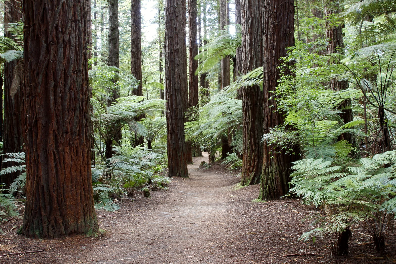 These Redwood Trees Didn't Start Out Big